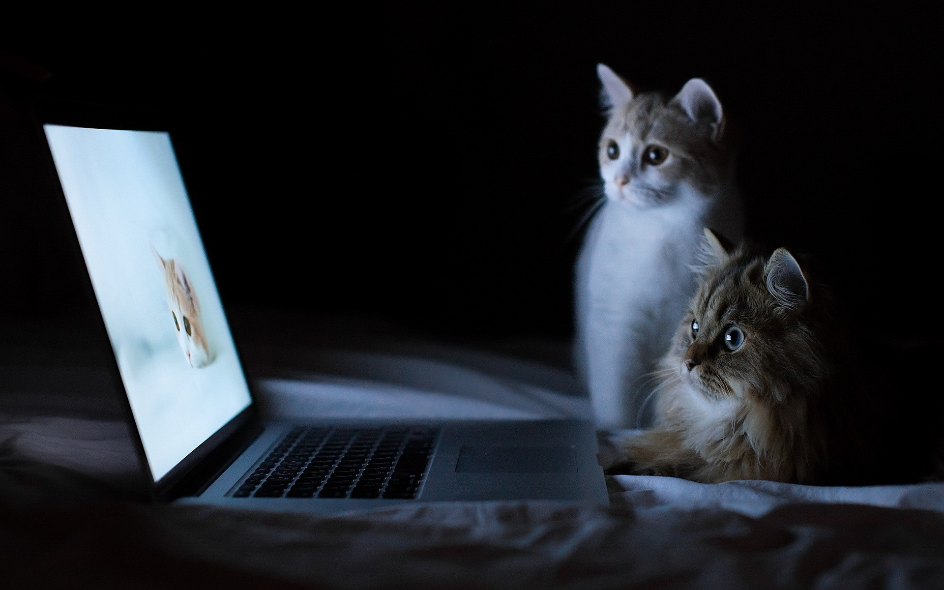HD-Cats-and-Laptop-Wallpaper